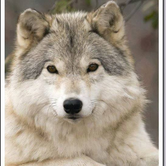 Desire's Embrace-A Wolf ShifterRomance